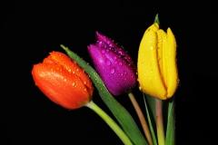 kleurentulp-Els