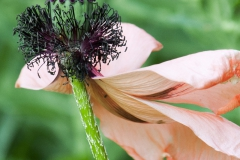 exp.MG_7396-papaver